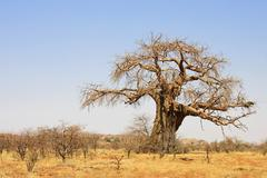 african baobab tree (adansonia digitata), south africa - stock photo