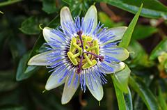 Purple passionflower (passiflora incarnata), blossom Stock Photos