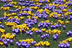 Flowering blue and yellow dutch crocuses (crocus vernus hybrids) Stock Photos