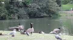 Group of gooses on the lake in the town park Stock Footage