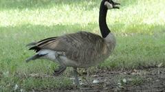 Canada Goose (Branta canadensis) Stock Footage