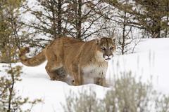cougar (felis concolor) in winter, montana, usa - stock photo