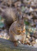 Red squirrel (sciurus vulgaris), schoenbrunn zoo, vienna, austria Stock Photos