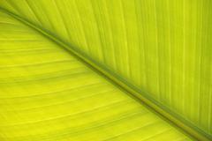Leaf of a bananito (musa acuminata), banana plant Stock Photos