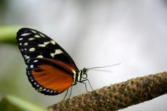 Stock Photo of tiger heliconian or ismenius tiger (heliconius ismenius) on a flower stalk