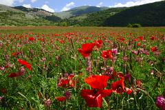 field of poppies in front of castel del monte, abruzzo, italy, europe - stock photo