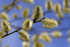 Flowering goat willow, great sallow with male willow catkins, allergenic (sal Stock Photos