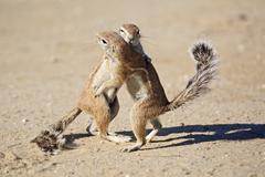 unstriped ground squirrels (xerus rutilus) playing and fighting, kalahari, kg - stock photo