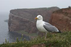 Herring gull (larus argentatus), bird rock, helgoland island, germany, europe Kuvituskuvat