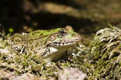 Frog (rana spec.), krka national park, dalmatia, croatia, europe Stock Photos