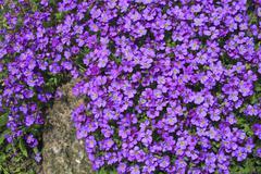 blossoming rock cress (aubrieta cultorum), bush for rock garden, stone wall - stock photo