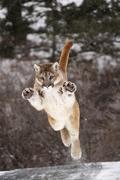 jumping cougar (felis concolor) in winter, montana, usa - stock photo