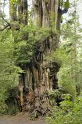 giant tree near kalaloch, olympic peninsula, washington, usa - stock photo