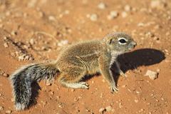 unstriped ground squirrel (xerus rutilus), kalahari, kgalagadi transfrontier  - stock photo