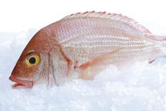 Gilthead seabream, dorade rose, on crushed ice Stock Photos
