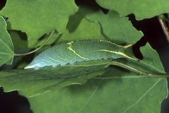 Stock Photo of lesser purple emperor (apatura ilia), caterpillar on its foodplant, the aspen