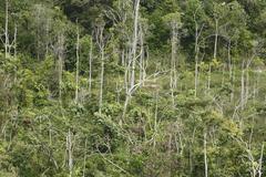 secondary rainforest, reforestation, samboja, east kalimantan, borneo, indone - stock photo