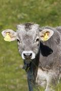 Portrait of a calf on a meadow, seiser alm, south tyrol, italy Stock Photos