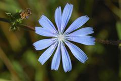 Chicory, blue sailors, coffeeweed, cichorium intybus, provence, france Stock Photos