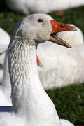 White domestic goose - watchful - domestic geese (anser anser formes domestic Stock Photos