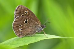 ringlet sitting on a leaf - butterfly (aphantopus hyperanthus) - stock photo
