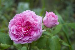 Mary rose, english rose by david c. h. austin Stock Photos
