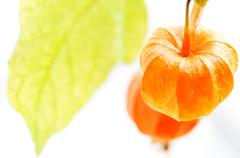 Stock Photo of ground cherry (physalis alkekengi)