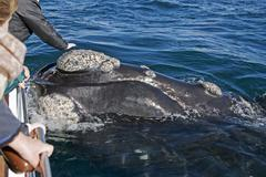Stock Photo of whale, walker bay, hermanus, south africa, africa