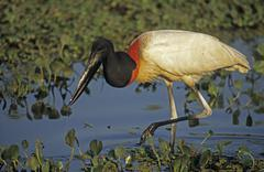 jabiru (jabiru mycteria) pantanal, brazil, south america - stock photo