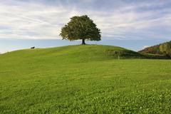Chestnut tree on a moraine hill in tufertschwil, toggenburg region, st. gall  Stock Photos