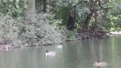 Group of gooses swimming in a  lake at the town park Stock Footage