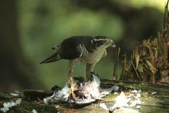 (northern) goshawk (accipiter gentilis), male with captured pigeon - stock photo
