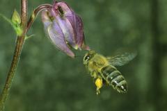 biene (apis mellifera) on an aquilegia vulgaris - stock photo