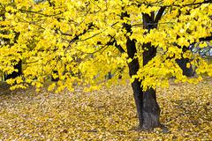 Autumnally colored broad-leaved tree Stock Photos