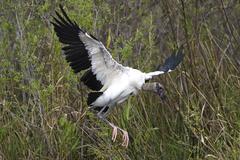 Mycteria americana, wood stork Stock Photos