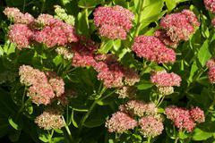 flowering stonecrop - sedum live-forever - orpine - livelong (sedum telephium - stock photo