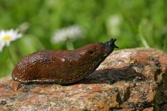 Spanish slug - lusitanian slug (arion lusitanicus) Stock Photos