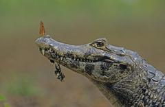 Spectacled caiman (caiman crocodilus) with butterfly on the nose, pantanal, b Stock Photos