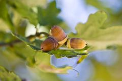 Acorns and oak leaves at the tree (quercus robur) Stock Photos