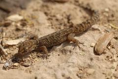 South american marked gecko (homonota fasciata), gran chaco, paraguay Stock Photos