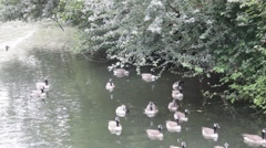 Wild gray geese swimming in the lake Stock Footage