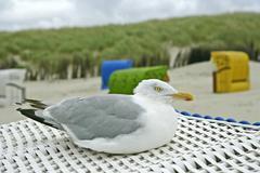 herring gull (larus argentatus) sitting on beach chair - stock photo