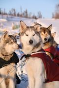 Dog team with dog jackets, alaskan huskys, resting, yukon territory, canada Stock Photos