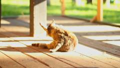 Cute brown cat cleaning himself outdoors, domestic animal, click for HD - stock footage