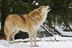 Howling european wolf (canis lupus lupus) in winter, wildpark poing wildlife  Kuvituskuvat