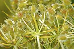 Wild carrot flower turning seeds, daucus carota ssp. carota Stock Photos