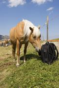 Haflinger horse sniffing at a backpack, seiser alm, south tyrol, italy Stock Photos
