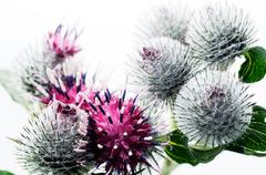 Detail from blossom of burdock (arctium lappa) Stock Photos