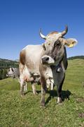cow on a meadow, seiser alm, south tyrol, italy - stock photo