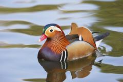 mandarin duck ( aix galericulata) - stock photo